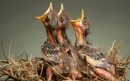fågelungar som skriker