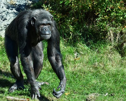 Schimpans som går på knogarna