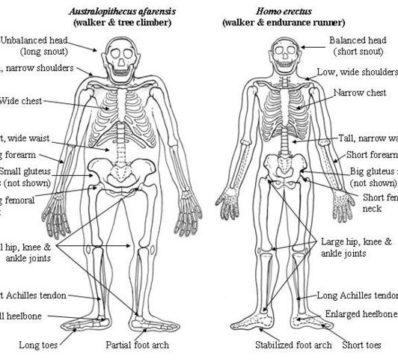 Anatomisk jämförelse mellan homo erectus och australopithecus