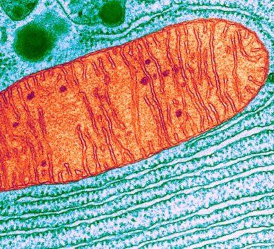 mitokondrie