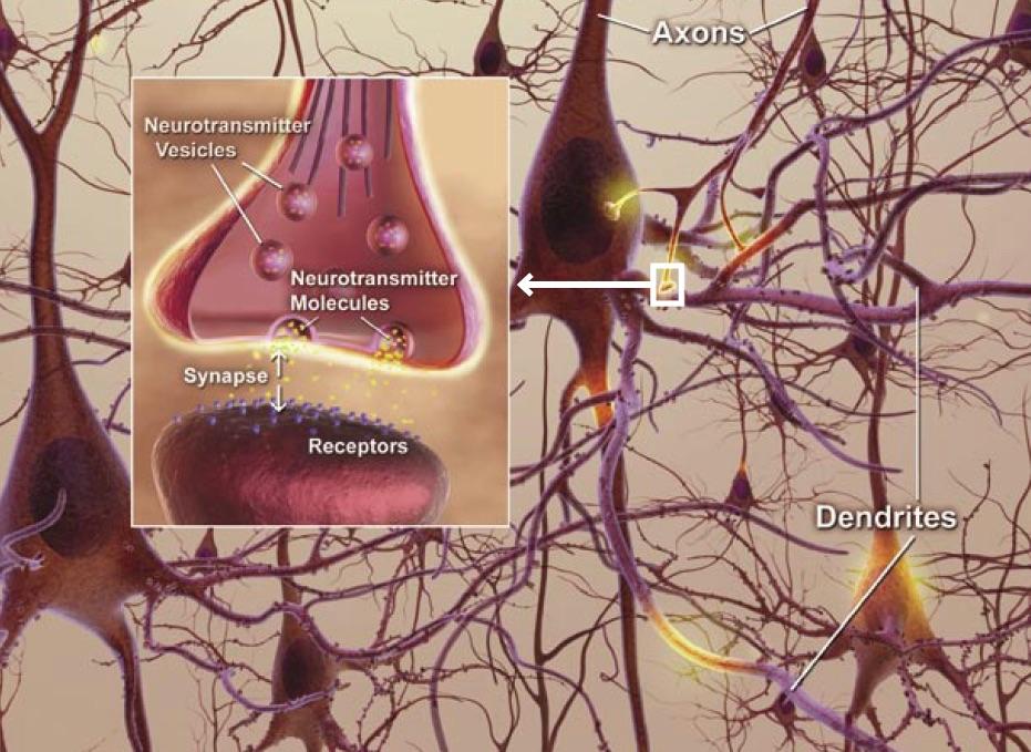 hjärnsmart axoner neuroner synapser