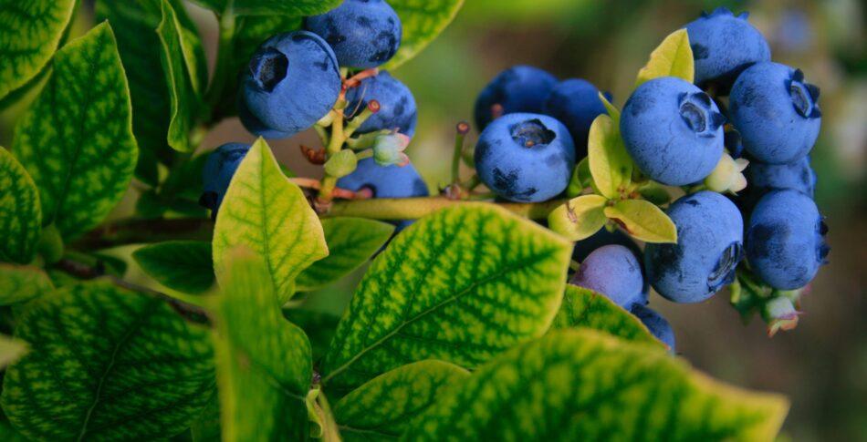 Därför bör löpare äta blåbär
